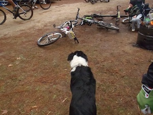 Border Collie watching the bikes.